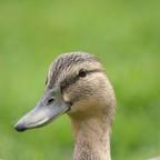 Eine Ente