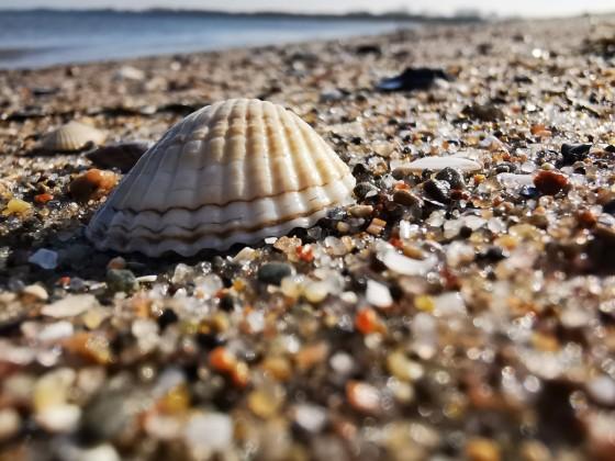Eine Muschel am Priwall-Strand